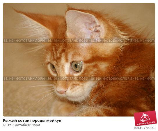 Рыжий котик породы мейкун, фото № 86149, снято 28 июля 2017 г. (c) Fro / Фотобанк Лори