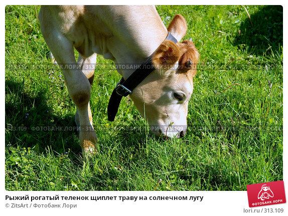 Рыжий рогатый теленок щиплет траву на солнечном лугу, фото № 313109, снято 6 июня 2008 г. (c) ZitsArt / Фотобанк Лори