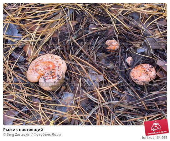 Рыжик настоящий, фото № 134965, снято 16 сентября 2004 г. (c) Serg Zastavkin / Фотобанк Лори