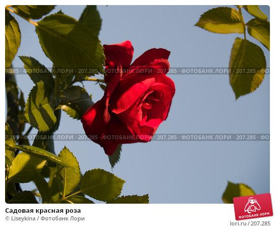 Садовая красная роза, фото № 207285, снято 2 июля 2006 г. (c) Liseykina / Фотобанк Лори