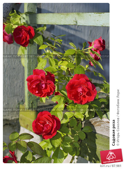 Садовая роза, фото № 87981, снято 26 марта 2017 г. (c) Игорь Соколов / Фотобанк Лори