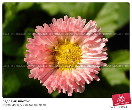 Садовый цветок, фото № 325441, снято 14 июня 2008 г. (c) Василий Каргандюм / Фотобанк Лори
