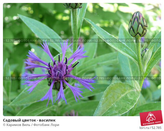Садовый цветок - василек, фото № 52785, снято 11 июня 2007 г. (c) Каримов Виль / Фотобанк Лори