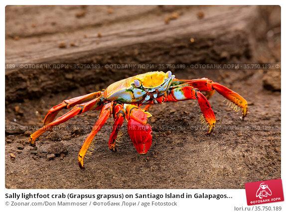 Sally lightfoot crab (Grapsus grapsus) on Santiago Island in Galapagos... Стоковое фото, фотограф Zoonar.com/Don Mammoser / age Fotostock / Фотобанк Лори