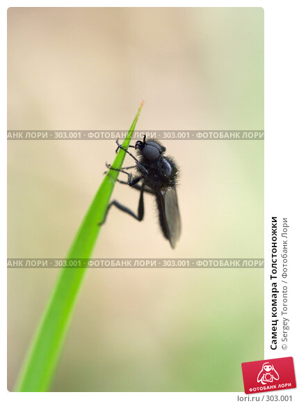 Купить «Самец комара Толстоножки», фото № 303001, снято 10 мая 2008 г. (c) Sergey Toronto / Фотобанк Лори