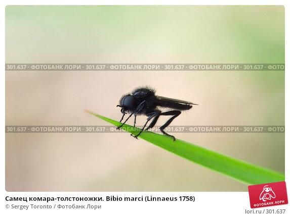 Самец комара-толстоножки. Bibio marci (Linnaeus 1758), фото № 301637, снято 10 мая 2008 г. (c) Sergey Toronto / Фотобанк Лори