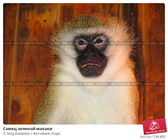 Самец зеленой макаки, фото № 134493, снято 10 октября 2004 г. (c) Serg Zastavkin / Фотобанк Лори
