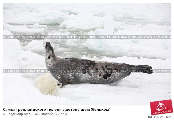 Самка гренландского тюленя с детенышем (бельком), фото № 230633, снято 11 марта 2008 г. (c) Владимир Мельник / Фотобанк Лори