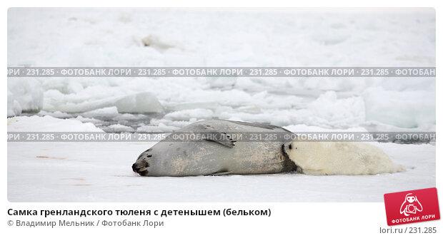 Самка гренландского тюленя с детенышем (бельком), фото № 231285, снято 11 марта 2008 г. (c) Владимир Мельник / Фотобанк Лори