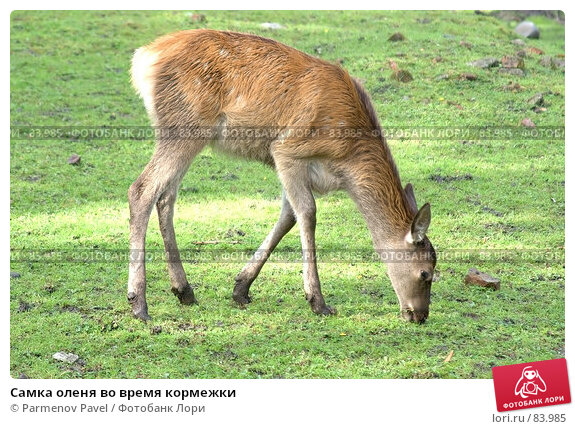 Купить «Самка оленя во время кормежки», фото № 83985, снято 20 апреля 2018 г. (c) Parmenov Pavel / Фотобанк Лори