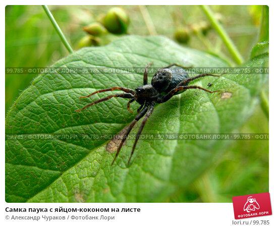 Самка паука с яйцом-коконом на листе, фото № 99785, снято 24 августа 2005 г. (c) Александр Чураков / Фотобанк Лори
