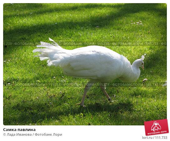 Купить «Самка павлина», фото № 111733, снято 9 апреля 2007 г. (c) Лада Иванова / Фотобанк Лори