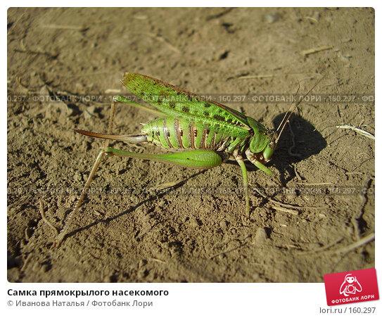 Самка прямокрылого насекомого, фото № 160297, снято 22 августа 2007 г. (c) Иванова Наталья / Фотобанк Лори