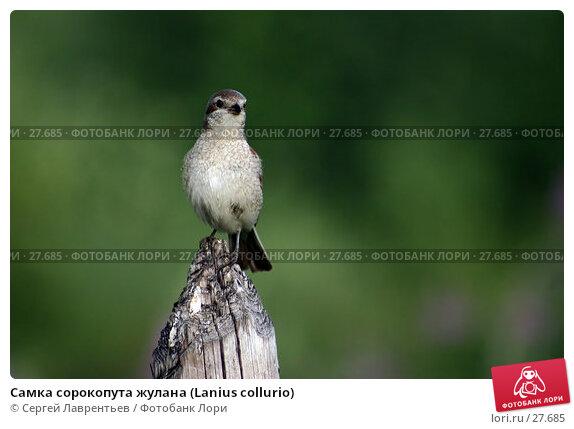 Самка сорокопута жулана (Lanius collurio), фото № 27685, снято 15 июля 2004 г. (c) Сергей Лаврентьев / Фотобанк Лори