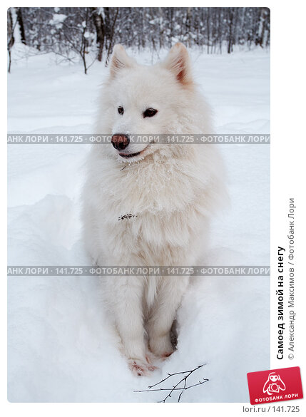 Самоед зимой на снегу, фото № 141725, снято 25 декабря 2005 г. (c) Александр Максимов / Фотобанк Лори