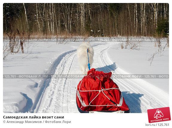 Самоедская лайка везет сани, фото № 125761, снято 24 февраля 2007 г. (c) Александр Максимов / Фотобанк Лори