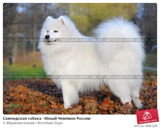 Купить «Самоедская собака - Юный Чемпион России», фото № 606225, снято 8 ноября 2008 г. (c) Абрамова Ксения / Фотобанк Лори
