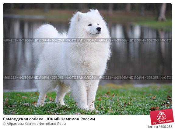 Купить «Самоедская собака - Юный Чемпион России», фото № 606253, снято 8 ноября 2008 г. (c) Абрамова Ксения / Фотобанк Лори