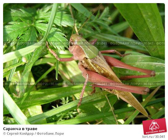 Купить «Саранча в траве», фото № 30041, снято 27 июня 2006 г. (c) Сергей Ксейдор / Фотобанк Лори