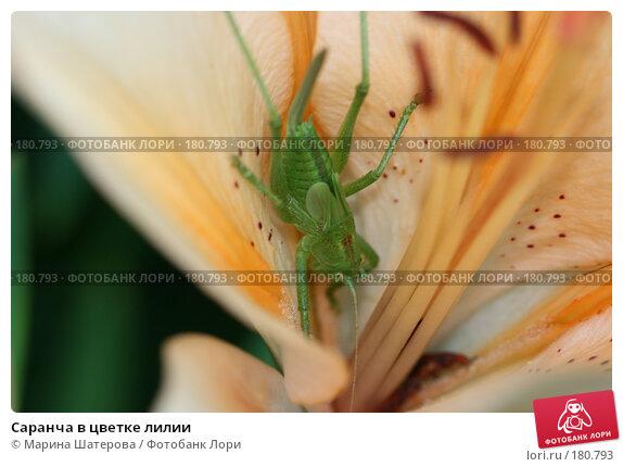 Саранча в цветке лилии, фото № 180793, снято 2 июля 2007 г. (c) Марина Шатерова / Фотобанк Лори