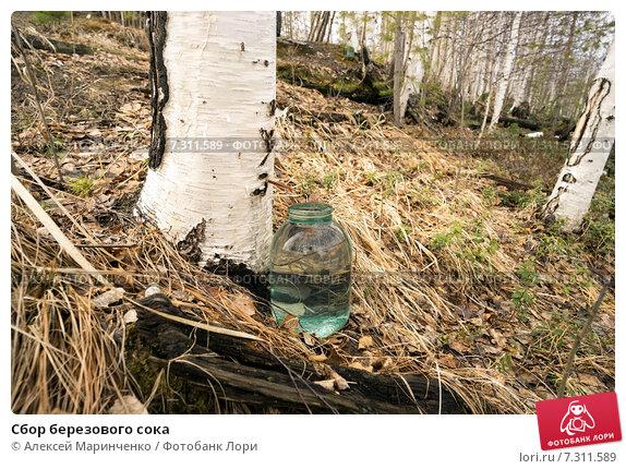 Купить «Сбор березового сока», фото № 7311589, снято 26 апреля 2015 г. (c) Алексей Маринченко / Фотобанк Лори