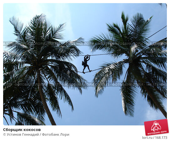Сборщик кокосов, фото № 168173, снято 26 апреля 2005 г. (c) Устинов Геннадий / Фотобанк Лори