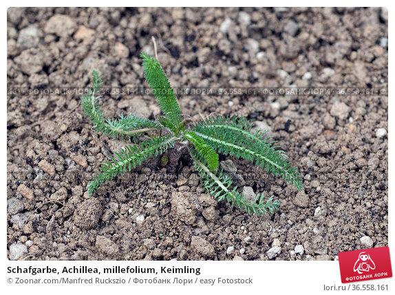 Schafgarbe, Achillea, millefolium, Keimling. Стоковое фото, фотограф Zoonar.com/Manfred Ruckszio / easy Fotostock / Фотобанк Лори