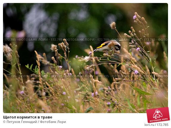 Щегол кормится в траве, фото № 172785, снято 7 июля 2007 г. (c) Петухов Геннадий / Фотобанк Лори