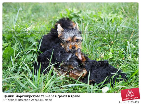 Щенки  йоркширского терьера играют в траве, фото № 153465, снято 31 июля 2007 г. (c) Ирина Мойсеева / Фотобанк Лори