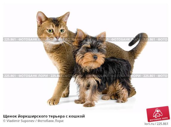 Щенок йоркширского терьера с кошкой, фото № 225861, снято 1 октября 2007 г. (c) Vladimir Suponev / Фотобанк Лори