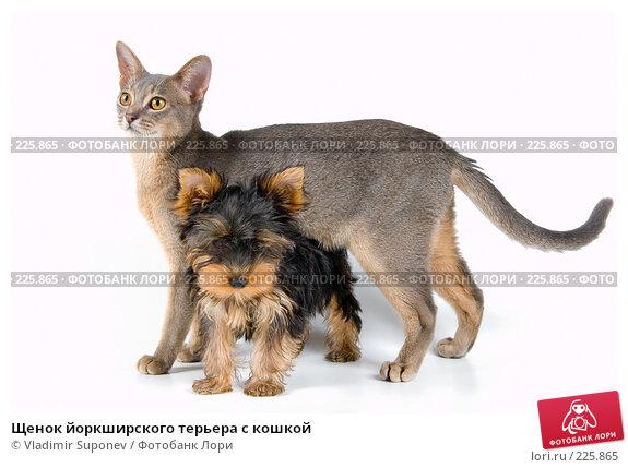 Щенок йоркширского терьера с кошкой, фото № 225865, снято 1 октября 2007 г. (c) Vladimir Suponev / Фотобанк Лори