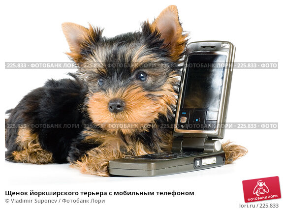 Щенок йоркширского терьера с мобильным телефоном, фото № 225833, снято 30 августа 2007 г. (c) Vladimir Suponev / Фотобанк Лори