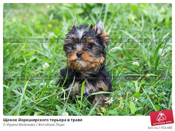 Купить «Щенок йоркширского терьера в траве», фото № 153445, снято 31 июля 2007 г. (c) Ирина Мойсеева / Фотобанк Лори