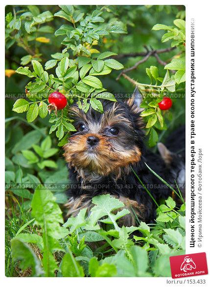 Щенок йоркширского терьера в траве около кустарника шиповника, фото № 153433, снято 31 июля 2007 г. (c) Ирина Мойсеева / Фотобанк Лори