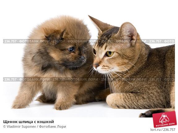 Щенок шпица с кошкой, фото № 236757, снято 16 марта 2008 г. (c) Vladimir Suponev / Фотобанк Лори