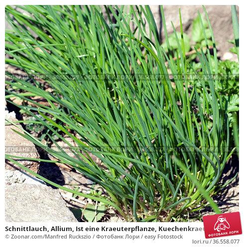 Schnittlauch, Allium, Ist eine Kraeuterpflanze, Kuechenkraeuterpflanze... Стоковое фото, фотограф Zoonar.com/Manfred Ruckszio / easy Fotostock / Фотобанк Лори