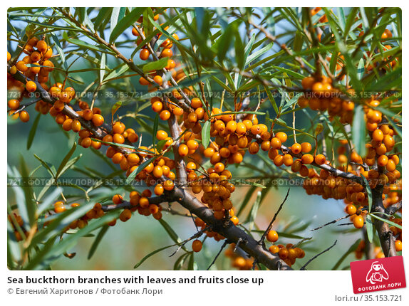Sea buckthorn branches with leaves and fruits close up. Стоковое фото, фотограф Евгений Харитонов / Фотобанк Лори