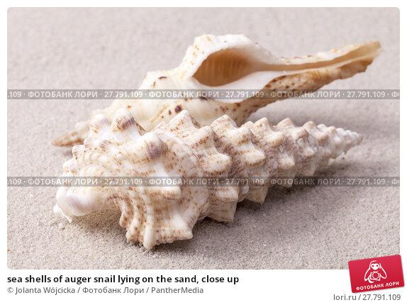Купить «sea shells of auger snail lying on the sand, close up», фото № 27791109, снято 21 октября 2018 г. (c) PantherMedia / Фотобанк Лори