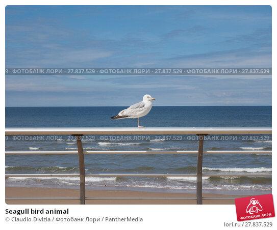 Купить «Seagull bird animal», фото № 27837529, снято 21 октября 2018 г. (c) PantherMedia / Фотобанк Лори