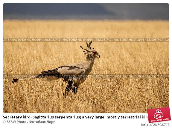 Купить «Secretary bird (Sagittarius serpentarius) a very large, mostly terrestrial bird of prey, Serengeti National Park Tanzania», фото № 28308717, снято 24 апреля 2019 г. (c) BE&W Photo / Фотобанк Лори