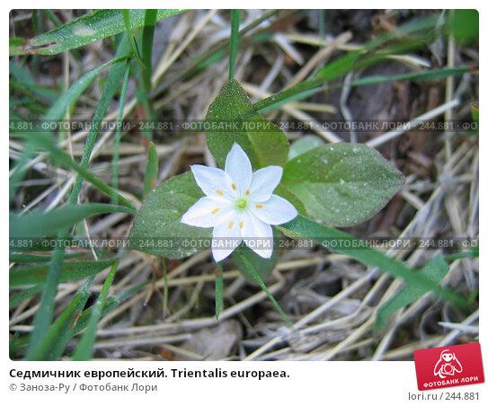 Седмичник европейский. Trientalis europaea., фото № 244881, снято 11 июня 2006 г. (c) Заноза-Ру / Фотобанк Лори