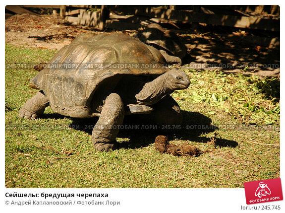 Сейшелы: бредущая черепаха, фото № 245745, снято 29 августа 2007 г. (c) Андрей Каплановский / Фотобанк Лори