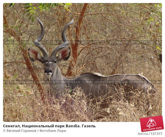 Сенегал, Национальный парк Bandia. Газель, фото № 137517, снято 1 декабря 2007 г. (c) Евгений Горюнов / Фотобанк Лори