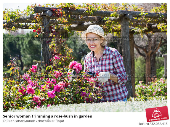 Senior woman trimming a rose-bush in garden. Стоковое фото, фотограф Яков Филимонов / Фотобанк Лори