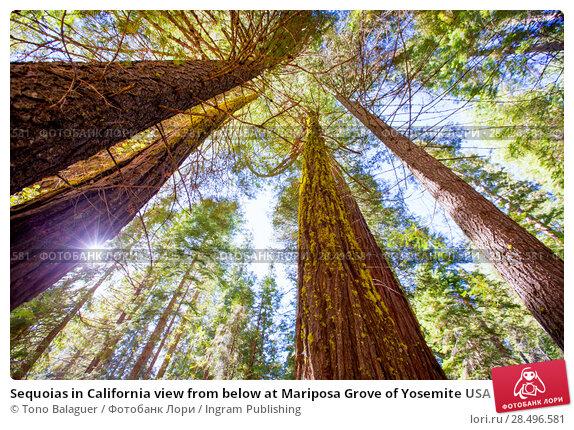 Купить «Sequoias in California view from below at Mariposa Grove of Yosemite USA», фото № 28496581, снято 19 апреля 2013 г. (c) Ingram Publishing / Фотобанк Лори