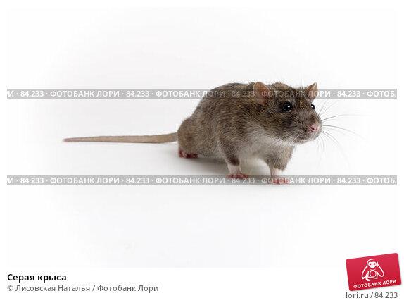 Серая крыса, фото № 84233, снято 15 сентября 2007 г. (c) Лисовская Наталья / Фотобанк Лори