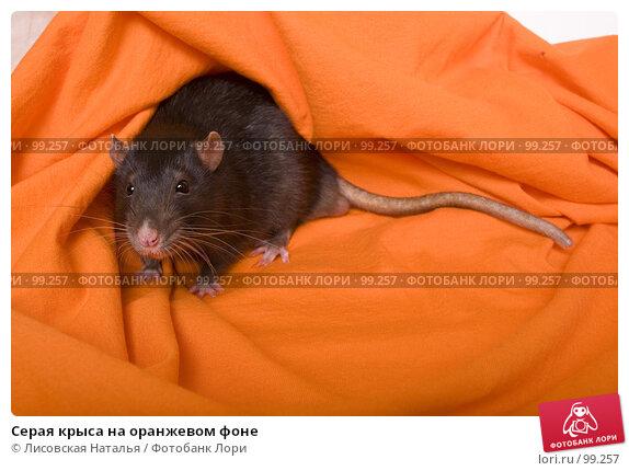 Серая крыса на оранжевом фоне, фото № 99257, снято 14 октября 2007 г. (c) Лисовская Наталья / Фотобанк Лори
