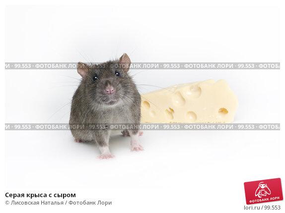 Серая крыса с сыром, фото № 99553, снято 15 сентября 2007 г. (c) Лисовская Наталья / Фотобанк Лори