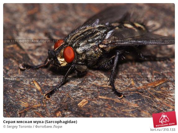 Серая мясная муха (Sarcophagidae), фото № 310133, снято 1 июня 2008 г. (c) Sergey Toronto / Фотобанк Лори