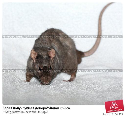 Серая полукрупная декоративная крыса, фото № 134573, снято 11 октября 2006 г. (c) Serg Zastavkin / Фотобанк Лори